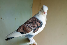 Beautiful White Dove With Spotted Brown Wings In An Abandoned House