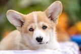 Fototapeta Zwierzęta - Portret szczeniaka rasy pembroke welsh corgi