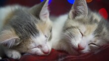 4k Two Striped Domestic Kittens Sleeping, Lying On Red Blanket On Bed. Sleep Cat. Concept Of Adorable Pets