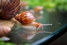 A Large White Snail Crawls Across The Glass Table, Wiggling Its Antennae.