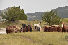 Wild Horse Herd Grazing In The Hills Of North Dakota