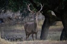 Deer With Antlers Walking On Meadow