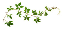 Parthenocissus Twig (wild Grape) With Green Leaves Isolated