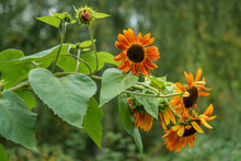 Bright And Large Sunflower Flowers In The Garden