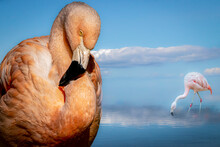 Portrait Of A Flamingo And A Flamingo In Water