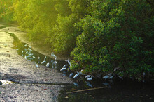 White Birds Heron, Bittern Or Egret Foraging In The Mangrove Forest.