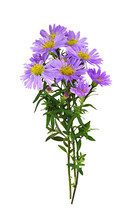 Twigs Of Purple Aster Amellus Flowers In A Small Autumn Bouquet Isolated