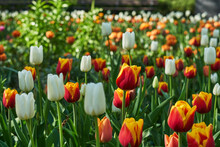Beautiful Spring Flower Bed With Different Tulips In The Park