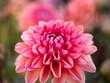 Różowa dalia w ogrodzie, kwiat