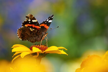 Red Admiral Butterfly Feeding With Flower Nectar ( Vanessa Atalanta )