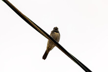 Pássaro Sobre O Fio Elétrico