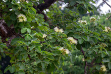 Pequi Flowers With Depth Of Field Blur. Flowering Tree In The Month Of September. Caryocar Brasiliense
