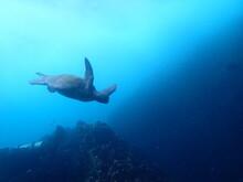 Sea turtle, Scuba Diving In Galapagos Islands, Gordon Rocks (OLYMPUS DIGITAL CAMERA)