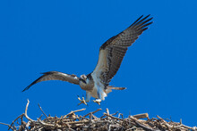A Fledgling Osprey Takes Its First Flight - Checking Its Wings With Little Jumps Until It Takes The Leap Of Faith And Becomes Airborne For The Very First Time And It Is Very Excited Squawking Loudly
