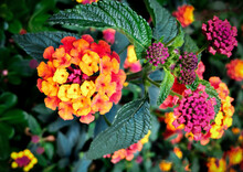 Lantanas Flowers With Green Leaves