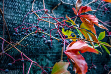 Blue Berries Of Wild Grapes On Stems With Red Leaves On A Dark Background, Close-up. Natural Autumn Background With Fruits And Foliage Of Parthenocissus Quinquefolia Plant
