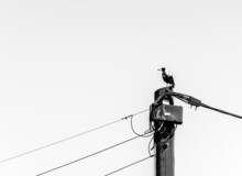 An Australian Magpie Perched On An Electricity Pole