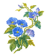 Bindweed Blue Flowers On White, Watercolor Illustration.