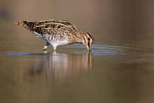 Common Snipe Bird (Gallinago Gallinago) In The Lake Swamp Search Food With Beak In Natural Habitat