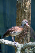 The Spotted Whistling Duck (Dendrocygna Guttata) Is A Member Of The Duck Family Anatidae. It Is Distributed Throughout The Southern Philippines, Wallacea And New Guinea.