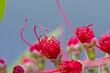 Callistemon  - Kuflik czerwony
