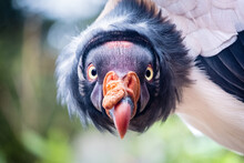 Close Up Of A King Vulture