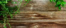 Grünes Efeu Vor Alter Holzwand