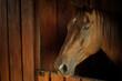 Koń w stajni w majestacie i spokoju. Głowa nos i głębokie brązowe oczy.