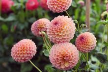Pink Dahlia 'Jowey Winnie'' In Flower