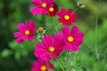 Deep Pink Cosmos Blooming In The Late Summer