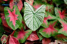 Beautiful Caladium Bicolor Colorful Leaf In The Garden.