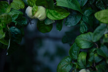 Dark Blurred Background With A Green Frame Of Quince Leaves. Background Blank For Poster, Postcard Or Banner. Quince Branches.