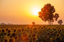 Sunflowers Sunset With Big Tree