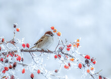 A Frozen Sparrow Sits On A Prickly And Snow-covered Branch Of A Rosehip With Red Berries On A Frosty Winter Morning