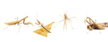 European Mantis, Set Mantis Religiosa Isolated On White Background, Subspecies - Mantis Religiosa Macedonica