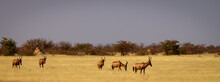 Red Hartebeests Arriving At A Waterhole In The Dry Grass