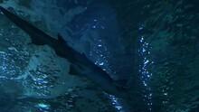 Sand Tiger Shark Swimming Above In A Aquarium