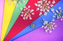 Background With White Flowers And Colored Stripes. Angelica Flowers On Pink, Yellow, Green, Red, Blue, And Purple Stripes.