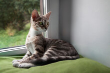 4 Month Old Kitten Mestizo Bengal Cat Funny Sitting By The Window