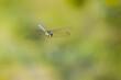 Ważka Żagnica w locie na zielonym tle