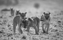 A Lion Pride In Black And White