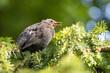 Ptak podlot Kos młody ptak