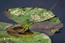 Frog In The Lily Pond