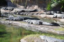Crocodiles Sunbathing.