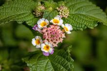 Flower Of Common Lantana