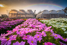 Rainbow Over Flower Filed And Green House