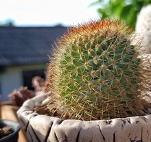 Small Cactus With Thorns In A Pot