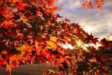 秋の夕暮れと真っ赤に染まる紅葉