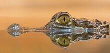 Side Close-up View Of A Spectacled Caiman (Caiman Crocodilus)