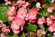 Eisbegonien (Begonia Semperflorens), Pink Blüten, Deutschland